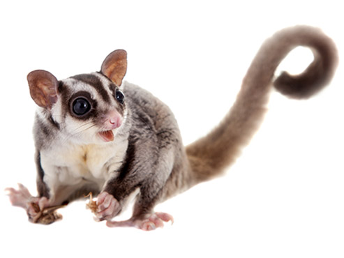 How to get rid of possums in & around Brisbane, QLD