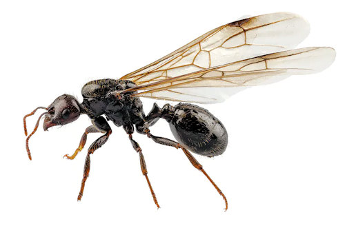 Flying Ants (Ants With Wings)
