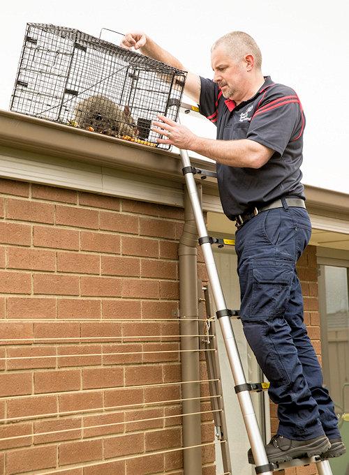 Possum Removal Ipswich