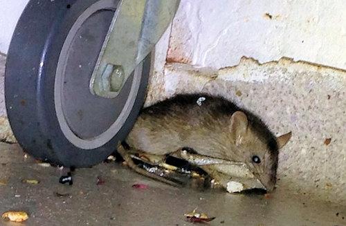 Rat control Brisbane