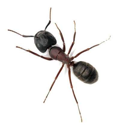 carpentar ant